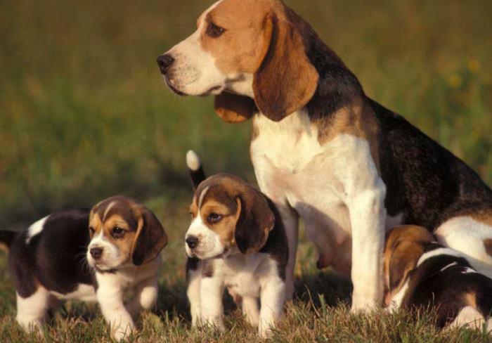 az elhízott beagle lefogy