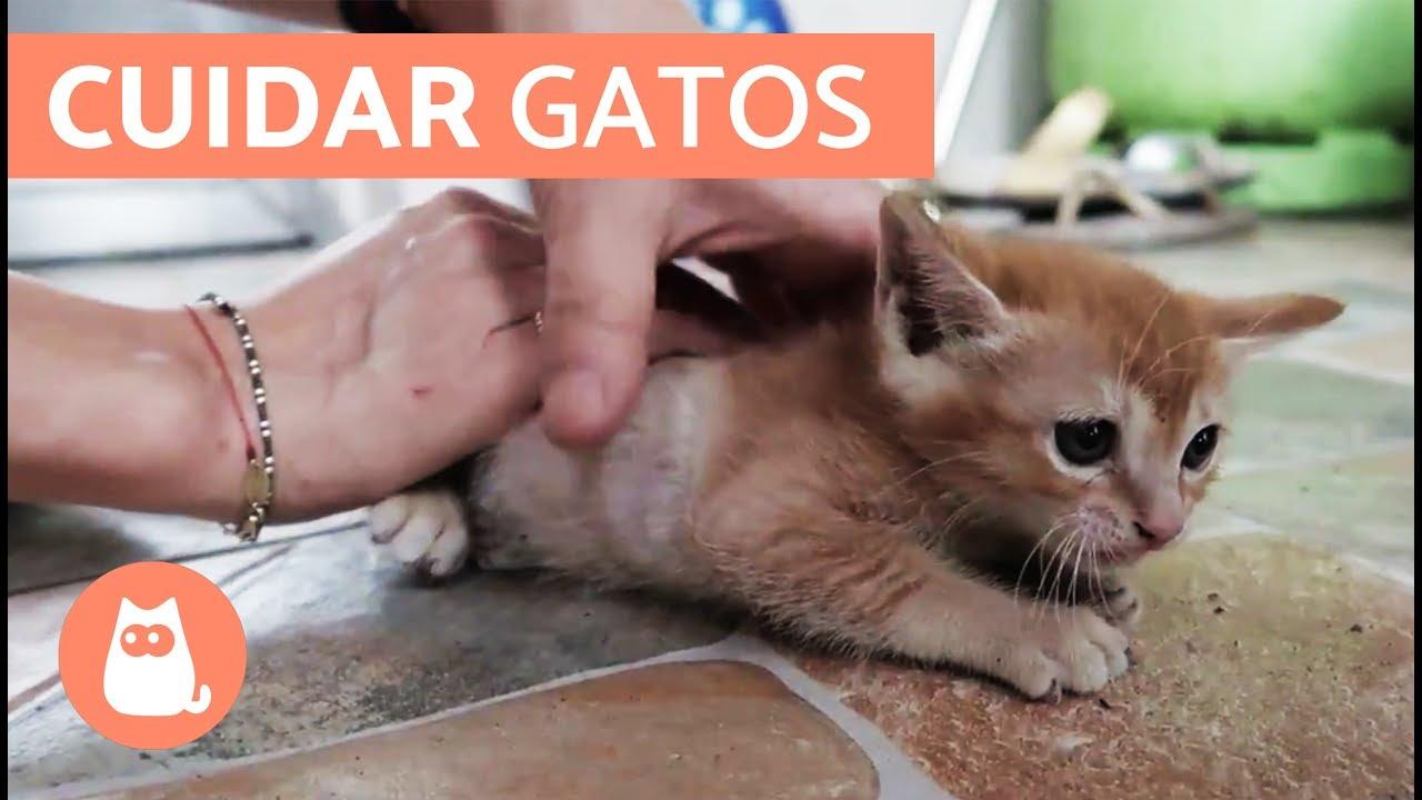los gatos fogyás