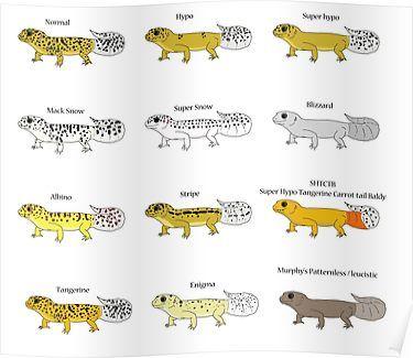 fogyás a leopárd gekkókban