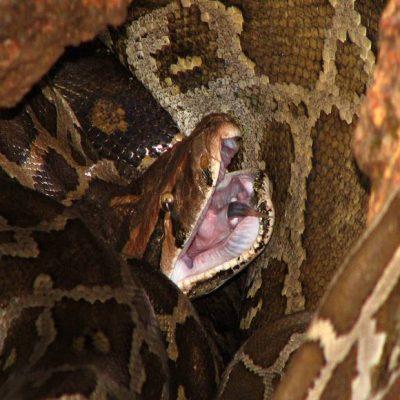 kígyó fogyás