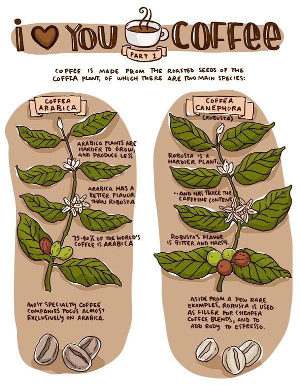 kávézó canephora fogyás
