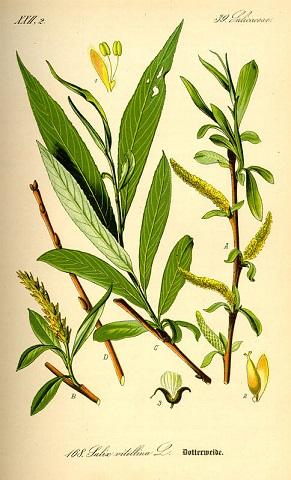 Fehérfűzfa-kéreg