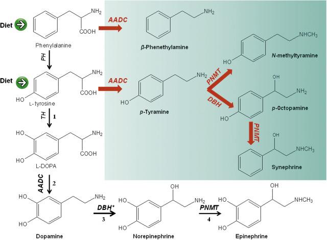 p synephrine fogyás